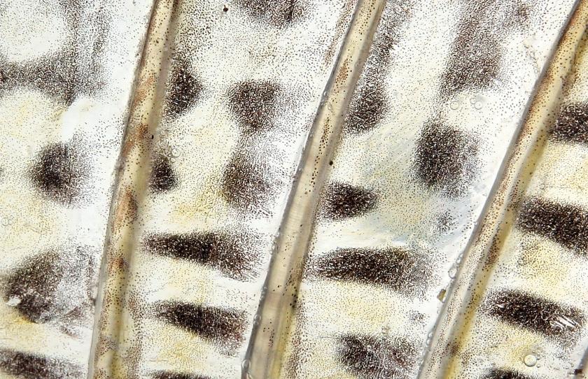 10 Sandre mâle 73cm -Coiselet- 2-12-2012 B.cottet7