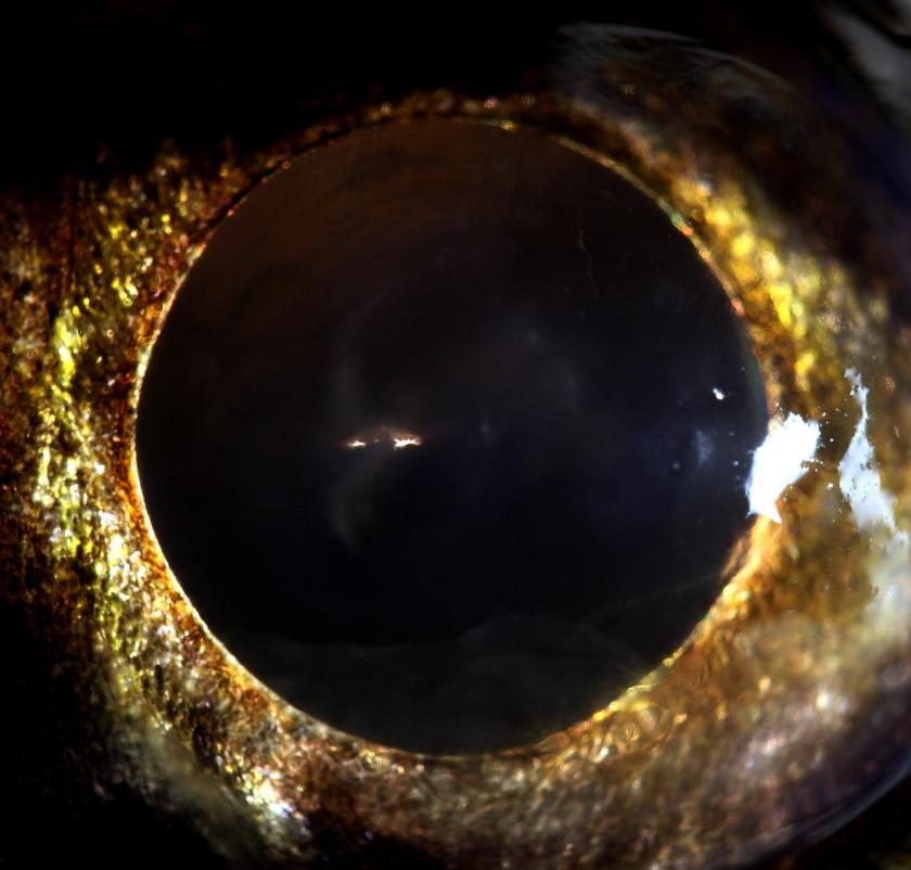 3 sandre femelle 75 cm - Coiselet - 2-12-2012 21