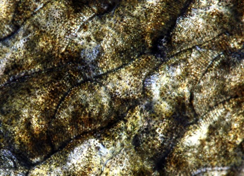 sandre femelle 75 cm - Coiselet - 2-12-2012 4