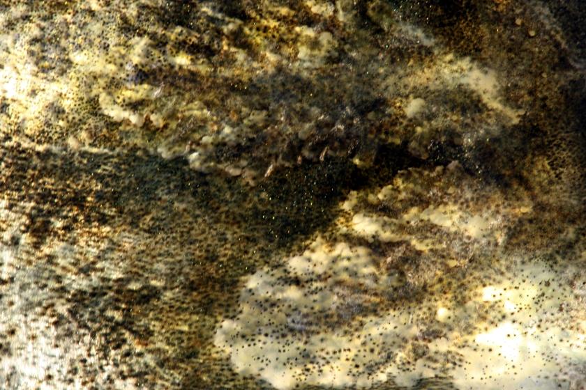 sandre femelle 75 cm - Coiselet - 2-12-2012 8